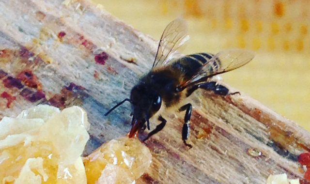 Première visite chez nos abeilles